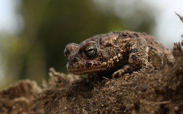 earth, macro, animals, frog, toad, amphibian