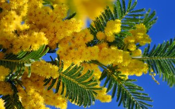the sky, flowers, branches, spring, march 8, 8, mimosa, mar