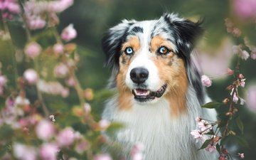 face, flowers, nature, flowering, forest, background, portrait, branches, dog, garden, spring, australian shepherd, aussie, blurred
