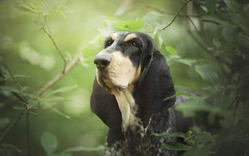 face, leaves, branches, dog, the basset hound