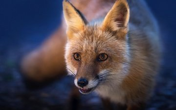 muzzle, look, red, fox, tail