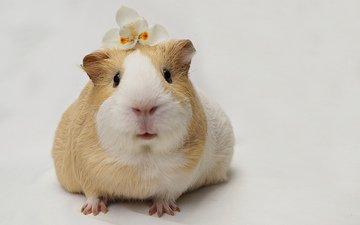 цветок, мордочка, взгляд, белый фон, морская свинка
