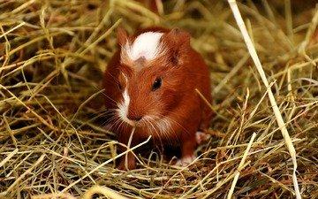трава, сено, морская свинка