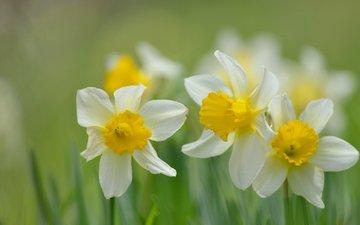 цветы, лепестки, размытость, весна, стебли, нарциссы
