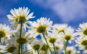 the sky, flowers, petals, chamomile, white