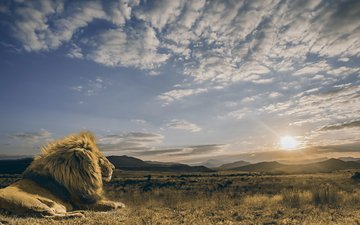 the sky, clouds, sunrise, the sun, calm, predator, leo, savannah, the king of beasts