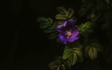 leaves, macro, flower, black background, bush
