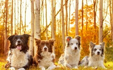 look, autumn, friends, dogs, faces, the border collie