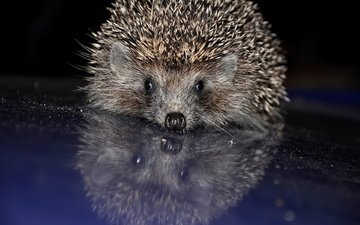 reflection, muzzle, barb, baby, hedgehog, needles