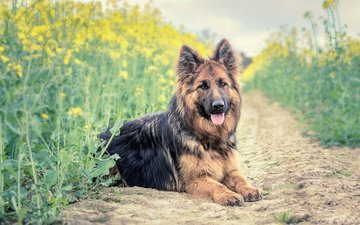 dog, german shepherd, shepherd, german, the longitudinal axis of the, long haired german shepherd