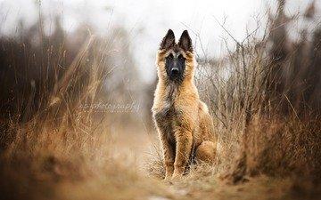 собака, щенок, овчарка, малинуа, бельгийская овчарка