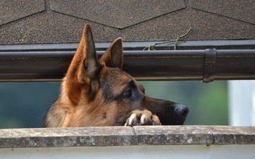 dog, german shepherd, shepherd