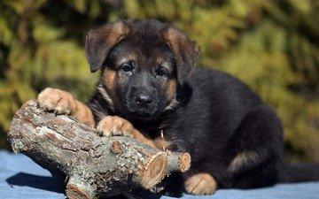 собака, щенок, немецкая овчарка, овчарка