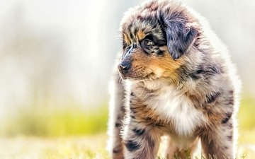 собака, щенок, овчарка, австралийская овчарка, аусси