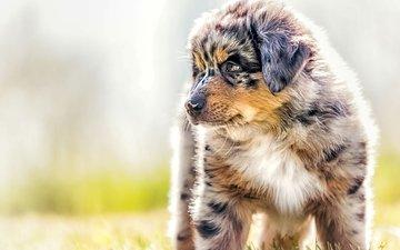 dog, puppy, shepherd, australian shepherd, aussie