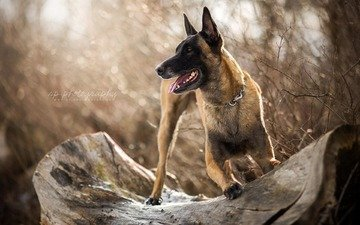 dog, shepherd, malinois, belgian shepherd