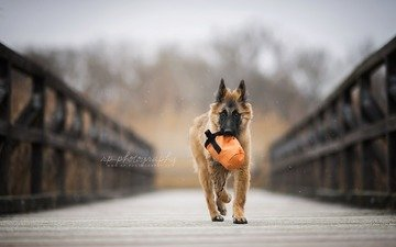 bridge, dog, puppy, shepherd, belgian shepherd, tervuren