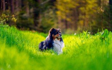 трава, собака, овчарка, австралийская овчарка, аусси