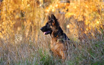 dog, puppy, german shepherd, shepherd