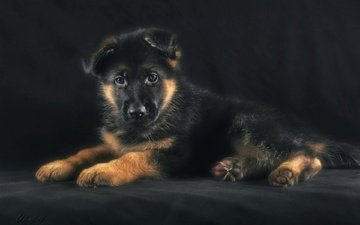 muzzle, look, dog, puppy, german shepherd, shepherd, tags