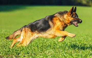 grass, dog, german shepherd, shepherd, vanya