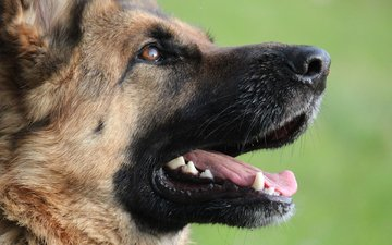 face, dog, profile, language, german shepherd, shepherd
