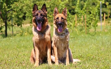 nature, look, language, dogs, faces, german shepherd, shepherd