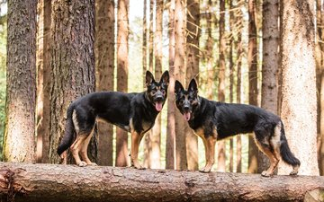 dogs, german shepherd, shepherd