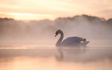 lake, morning, fog, bird, swan