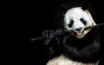 морда, взгляд, панда, бамбук, черный фон