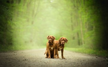 pair, dogs, bokeh, dogue de bordeaux, twins