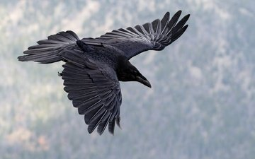 flight, wings, bird, beak, raven
