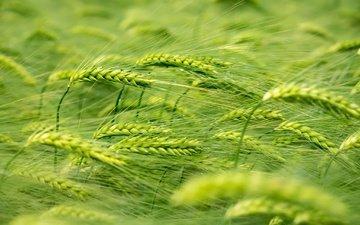 природа, макро, лето, колосья, пшеница, растение