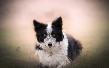 nature, look, dog, each, the border collie