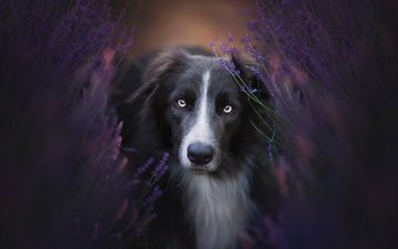 flowers, nature, look, dog, the border collie
