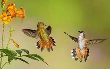 flowers, wings, birds, beak, feathers, hummingbird