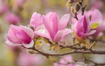 macro, branches, petals, spring, magnolia