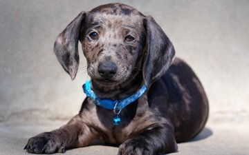 muzzle, look, dog, puppy, collar, dachshund