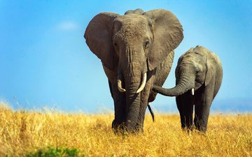 the sky, grass, elephants, the elephant, elephant