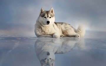 отражение, лёд, собака, лежит, хаски