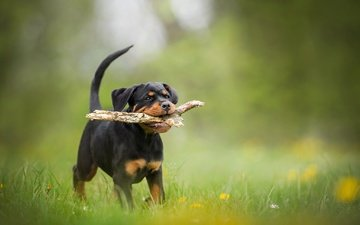 dog, puppy, stick, bokeh, rottweiler