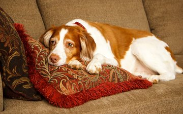 pillow, sadness, dog, lies, spaniel