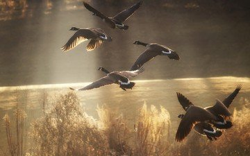 nature, flight, wings, birds, duck, wildlife, geese, sunlight