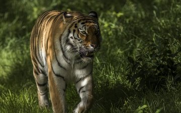 tiger, face, grass, greens, look, predator, walk