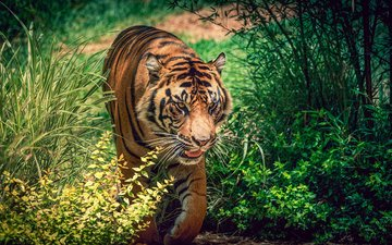 tiger, face, plants, look, predator, big cat, wild cat