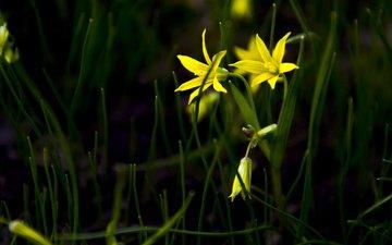 трава, лепестки, цветы, желтые цветы, гусиный лук, gagea), gagea