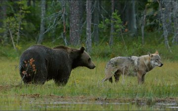 grass, forest, animals, bear, wolf
