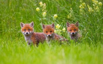 flowers, grass, animals, look, faces, cubs, fox