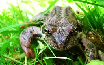 eyes, grass, macro, summer, garden, frog, toad
