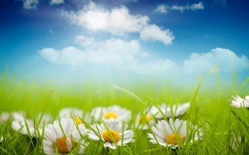 the sky, flowers, grass, clouds, petals, meadow, chamomile, white